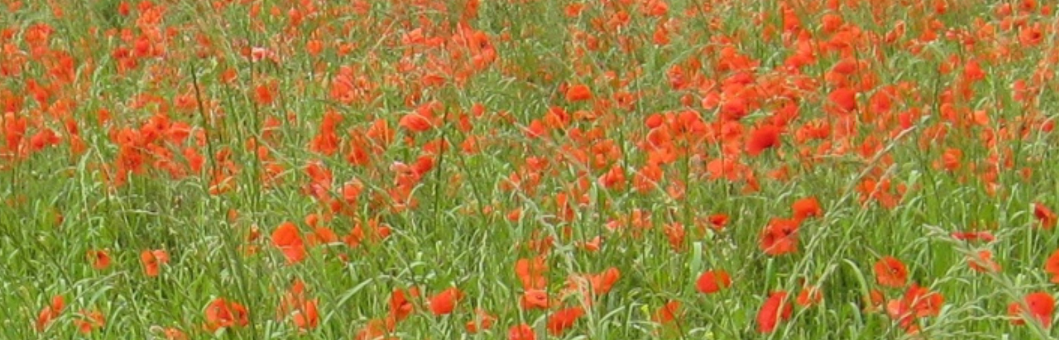 Garden Planting showing Poppies in a field